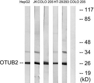Western blot analysis of lysates from COLO, HepG2, Jurkat, 293, and HT-29 cells, using OTUB2 Antibody. The lane on the right is blocked with the synthesized peptide.