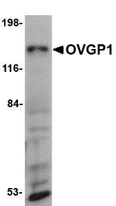 Western blot of OVGP1 in 3T3 cell lysate with OVGP1 antibody at 1 ug/ml.
