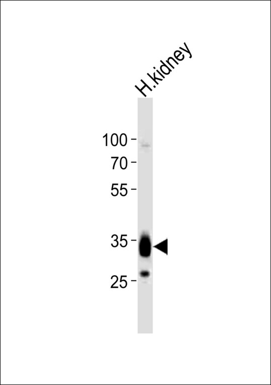 PAP2a / PPAP2A Antibody - Western blot of lysate from human kidney tissue lysate, using PPAP2A antibody diluted at 1:1000. A goat anti-rabbit IgG H&L (HRP) at 1:10000 dilution was used as the secondary antibody. Lysate at 20 ug.