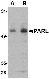 Western blot of PARL in 3T3 cell lysate with PARL antibody at (A) 1 and (B) 2 ug/ml.