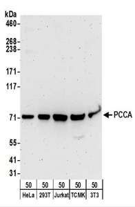 Detection of Human and Mouse PCCA by Western Blot. Samples: Whole cell lysate (50 ug) from HeLa, 293T, Jurkat, mouse TCMK-1, and mouse NIH3T3 cells. Antibodies: Affinity purified rabbit anti-PCCA antibody used for WB at 0.1 ug/ml. Detection: Chemiluminescence with an exposure time of 3 minutes.