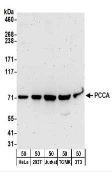 PCCA Antibody - Detection of Human and Mouse PCCA by Western Blot. Samples: Whole cell lysate (50 ug) from HeLa, 293T, Jurkat, mouse TCMK-1, and mouse NIH3T3 cells. Antibodies: Affinity purified rabbit anti-PCCA antibody used for WB at 0.1 ug/ml. Detection: Chemiluminescence with an exposure time of 3 minutes.