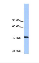 PGK1 / Phosphoglycerate Kinase Antibody - Hela cell lysate. Antibody concentration: 0.5 ug/ml. Gel concentration: 8%.  This image was taken for the unconjugated form of this product. Other forms have not been tested.