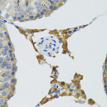 Immunohistochemistry of paraffin-embedded mouse testis tissue.