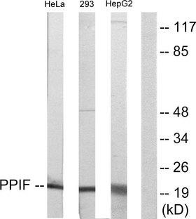 PPIF / Cyclophilin F Antibody - Western blot analysis of lysates from HepG2, HeLa, and 293 cells, using PPIF Antibody. The lane on the right is blocked with the synthesized peptide.