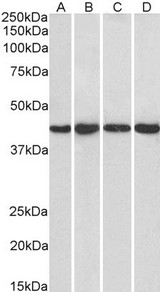 PPP1R8 / Rnase E Antibody - PPP1R8 / Rnase E antibody (1µg/ml) staining of HeLa (A), HepG2 (B), Jurkat (C) and NIH3T3 (D) nuclear lysate (35µg protein in RIPA buffer). Detected by chemiluminescence.