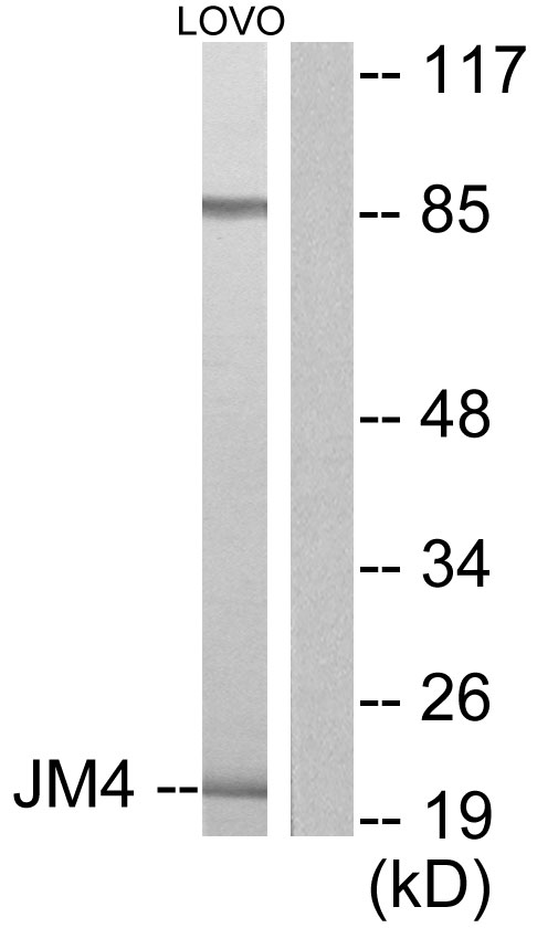 PRAF2 Antibody - Western blot analysis of lysates from LOVO cells, using JM4 Antibody. The lane on the right is blocked with the synthesized peptide.