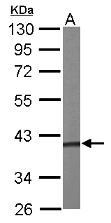 PRPSAP1 Antibody - Sample (50 ug of whole cell lysate). A: mouse liver. 10% SDS PAGE. PRPSAP1 antibody diluted at 1:1000.