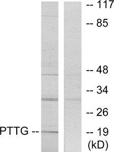 PTTG1IP / PBF Antibody - Western blot analysis of lysates from RAW264.7 cells, using PTTG Antibody. The lane on the right is blocked with the synthesized peptide.