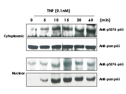 RELA / NFKB p65 Antibody - Anti-Human pS276 p65 Antibody - Western Blot. TNF Induces phosphorylation of p65 in KBM-5 cells. Cytoplasmic and nuclear protein lysates prepared after 0, 5, 10, 15, 30 and 60 minutes of 0.1 nM TNF treatment of KBM-5 cells shows inducible phosphorylation using phospho specific polyclonal anti-human pS276 p65. pan reactive anti-p65 (code# LS-B653) was used a control to show the presence of total p65 in both the cytoplasmic and nuclear extracts. Phosphorylation of p65 occurs after approximately 10 min of TNF exposure. Migration of phosphorylated p65 into the nucleus occurs within a similar time frame. HRP conjugated Gt-anti-Rabbit IgG was used to develop the Western blot of a chemiluminescent detection method. Other detection methods will yield similar results. Personal Communication, Aggarwal BB.