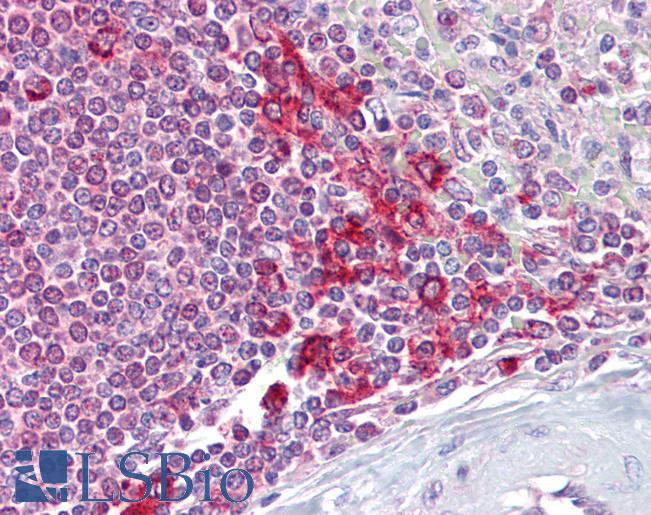 Requiem / DPF2 Antibody - Anti-DPF2 antibody IHC of human spleen. Immunohistochemistry of formalin-fixed, paraffin-embedded tissue after heat-induced antigen retrieval. Antibody concentration 5 ug/ml.