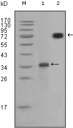 RET Antibody - Western blot analysis using RET monoclonal antibody against truncated RET-GST recombinant protein and RET(aa658-1063)/hIgGFc transfected CHO-K1 cell lysate.