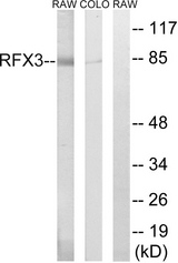 Western blot analysis of lysates from COLO and RAW264.7 cells, using RFX3 Antibody. The lane on the right is blocked with the synthesized peptide.