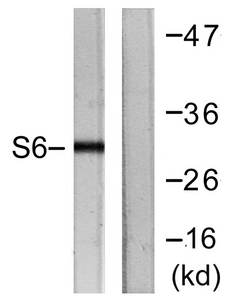 RPS6 / Ribosomal Protein S6 Antibody - Western blot analysis of lysates from HeLa cells, treated with TNF-a 20ng/ml 2', using S6 Ribosomal Protein Antibody. The lane on the right is blocked with the synthesized peptide.