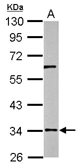 RPUSD3 Antibody - Sample (50 ug of whole cell lysate) A: mouse brain 10% SDS PAGE RPUSD3 antibody diluted at 1:500