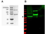 Anti-SUMO Activating Enzyme (SAE1) Antibody - SDS-PAGE/Western Blot. Coomassie-stained SDS-PAGE of GST-SAE1 recombinant protein (Panel A) and western blotting (Panel B) of HeLa WC lysate (lane 1) and purified recombinant GST-SAE1 (lane 2) are presented to show specificity of purified anti-SUMO Activating Enzyme (SAE1) antibody. The recombinant protein (with tag) ~60 kD band present in 35 ug lysate (green, 800 nm channel) is indicated by the arrowhead. Lane 2 contains 50 ng of purified recombinant GST-SAE1 and lane 3 contains 300 ng of purified GST. Proteins were separated on a 4-20% Tris-Glycine gel by SDS-PAGE and transferred onto nitrocellulose. After blocking the membrane was probed with the primary antibody diluted to 1:2000. Incubation was overnight at 4° C followed by washes and reaction with a 1:10000 dilution of IRDye800 conjugated Gt-a-Rabbit IgG [H&L] MXHu ( for 45 min at room temperature. Molecular weight markers are shown for both the Coomassie-stained gel and the western blot (lane M, red, 700 nm channel). IRDye800 fluorescence image was captured using the Odyssey Infrared Imaging System developed by LI-COR. IRDye is a trademark of LI-COR, Inc. Other detection systems will yield similar results. SDS-PAGE image courtesy of Proteome Resources, Englewood, CO.