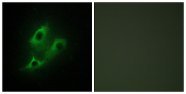 SERINC2 Antibody - Immunofluorescence analysis of NIH/3T3 cells, using SERC2 Antibody. The picture on the right is blocked with the synthesized peptide.
