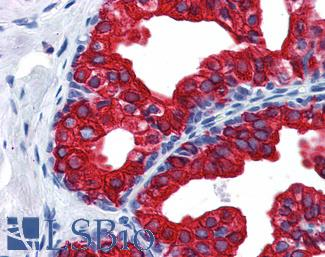 SERPINE1 / PAI-1 Antibody - Anti-SERPINE1 / PAI-1 antibody IHC of human prostate. Immunohistochemistry of formalin-fixed, paraffin-embedded tissue after heat-induced antigen retrieval. Antibody concentration 2.5 ug/ml.