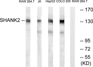 Western blot analysis of lysates from RAW264.7, Jurkat, HepG2, and COLO cells, using SHANK2 Antibody. The lane on the right is blocked with the synthesized peptide.