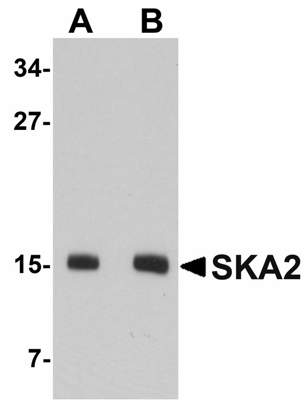 SKA2 Antibody - Western blot of SKA2 in 3T3 cell lysate with SKA2 antibody at (A) 0.5 and (B) 1 ug/ml.