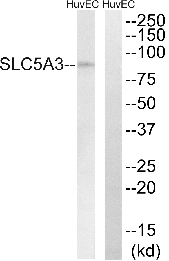 SLC5A3  Antibody - Western blot analysis of lysates from HUVEC cells, using SLC5A3 Antibody. The lane on the right is blocked with the synthesized peptide.