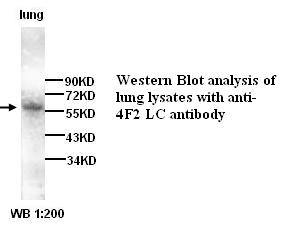 SLC7A5 / CD98 Light Chain Antibody