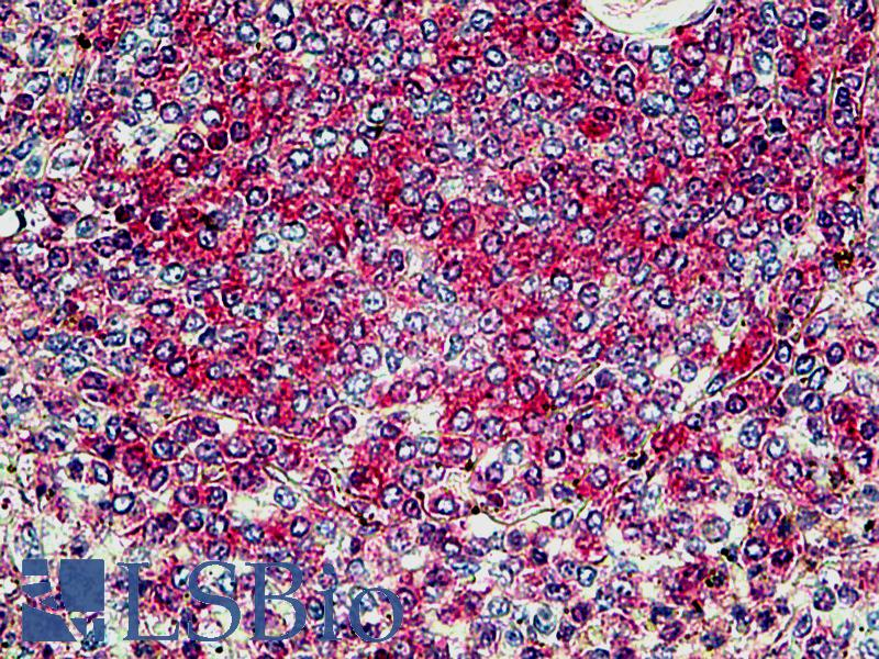 SNX4 Antibody - Anti-SNX4 antibody IHC of human spleen. Immunohistochemistry of formalin-fixed, paraffin-embedded tissue after heat-induced antigen retrieval. Antibody concentration 3.75 ug/ml.