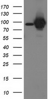 STAT5A Antibody - HEK293T cells were transfected with the pCMV6-ENTRY control (Left lane) or pCMV6-ENTRY STAT5A (Right lane) cDNA for 48 hrs and lysed. Equivalent amounts of cell lysates (5 ug per lane) were separated by SDS-PAGE and immunoblotted with anti-STAT5A.