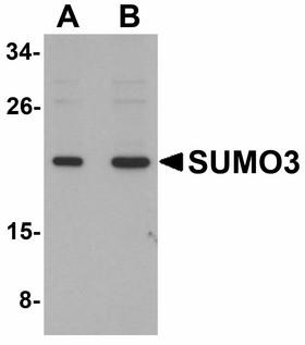 SUMO3 Antibody - Western blot of SUMO3 in mouse liver tissue lysate with SUMO3 antibody at (A) and (B) 2 ug/ml.