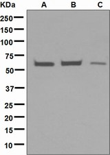 Western blot analysis on (A) HepG2, (B) HeLa, and (C) JAR cell lysates using anti-EHD1 antibody.