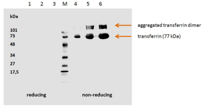 TF / Transferrin Antibody - Human transferrin detected by the mouse monoclonal antibody HTF-14.  1. hTransferrin; 5 µg/well (red. con.)  2. hTransferrin; 3 µg/well (red. con.)  3. hTransferrin; 1 µg/well (red. con.)     M Low Range marker (Bio-Rad)  4. hTransferrin; 1 µg/well (non-red. con.)  5. hTransferrin; 3 µg/well (non-red. con.)  6. hTransferrin; 5 µg/well (non-red. con.)
