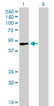 Western blot of TFAP2A expression in transfected 293T cell line by TFAP2A monoclonal antibody.