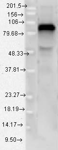 TLR4 Antibody - TLR4-MD-2 recomb; 95kD.  This image was taken for the unconjugated form of this product. Other forms have not been tested.