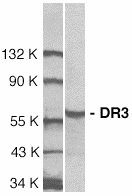 Western blot of DR3 in Jurkat total cell lysate with DR3 antibody at 1:1000 dilution.