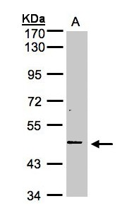 Sample(30 ug whole cell lysate). A: Hep G2. 7.5% SDS PAGE. TNFRSF25 antibody diluted at 1:1000.