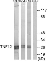 Western blot analysis of lysates from COLO205, HUVEC cells, and 293 cells, using TNF12 Antibody. The lane on the right is blocked with the synthesized peptide.
