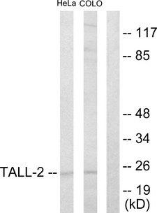 TNFSF13 / APRIL Antibody - Western blot analysis of lysates from HeLa and COLO205 cells, using TALL-2 Antibody. The lane on the right is blocked with the synthesized peptide.