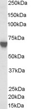Antibody (0.03 ug/ml) staining of A431 lysate (35 ug protein in RIPA buffer). Primary incubation was 1 hour. Detected by chemiluminescence.