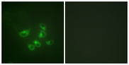 Immunofluorescence analysis of HepG2 cells, using Tryptophan Hydroxylase Antibody. The picture on the right is blocked with the synthesized peptide.