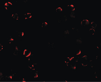 Immunofluorescence of TRIM24 in EL4 cells with TRIM24 antibody at 20 ug/ml.