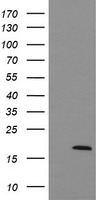 UBE2G2 Antibody - HEK293T cells were transfected with the pCMV6-ENTRY control (Left lane) or pCMV6-ENTRY UBE2G2 (Right lane) cDNA for 48 hrs and lysed. Equivalent amounts of cell lysates (5 ug per lane) were separated by SDS-PAGE and immunoblotted with anti-UBE2G2.