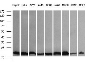 UBE2G2 Antibody - Western blot of extracts (35 ug) from 9 different cell lines by using anti-UBE2G2 monoclonal antibody (HepG2: human; HeLa: human; SVT2: mouse; A549: human; COS7: monkey; Jurkat: human; MDCK: canine; PC12: rat; MCF7: human).
