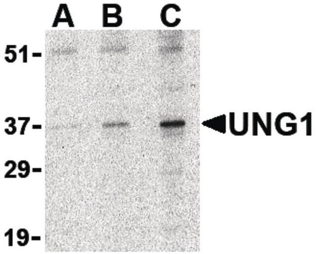 UNG / Uracil DNA Glycosylase Antibody - Western blot of UNG1 in C2C12 cell lysate with UNG1 antibody at (A) 0.5, (B) 1 and (C) 2 ug/ml.