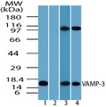 Western blot of VAMP-3 in human brain lysate in the 1) absence and 2) presence of immunizing peptide 3) mouse brain and 4) rat brain using VAMP3 / VAMP-3 Antibody at 1.0 ug/ml.