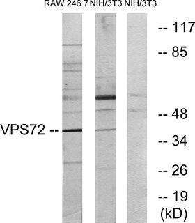 VPS72 Antibody - Western blot analysis of lysates from RAW264.7 and NIH/3T3 cells, using VPS72 Antibody. The lane on the right is blocked with the synthesized peptide.