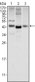 Western blot using WNT1 mouse monoclonal antibody against NIH/3T3 (1), 3T3L1 (2) and HeLa (3) cell lysate.