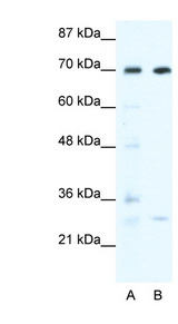 WRNIP1 / WHIP antibody Western blot of HepG2 cell lysate. This image was taken for the unconjugated form of this product. Other forms have not been tested.