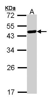 Sample (30 ug of whole cell lysate). A: Raji. 12% SDS PAGE. WWOX antibody diluted at 1:1000.