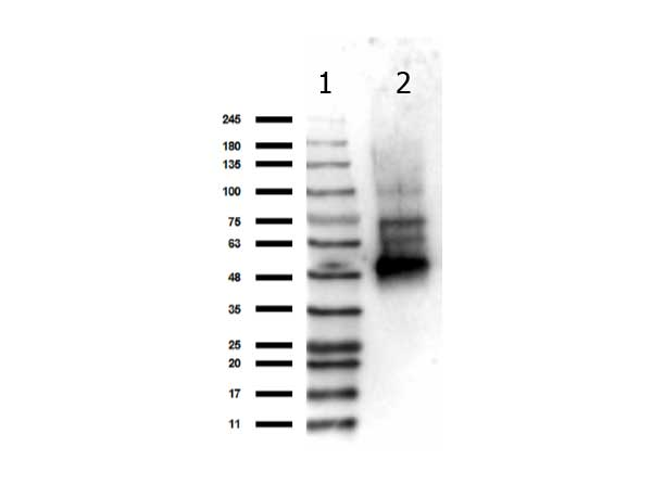 IKBKG / NEMO / IKK Gamma Antibody - Western Blot of rabbit anti-NEMO antibody. Lane 1: Opal Pre-stained ladder Lane 2: Recombinant NEMO protein. Load: 175 ng per lane. Primary antibody: NEMO antibody at 1:1,000 for overnight at 4°C. Secondary antibody: Peroxidase rabbit secondary antibody at 1:70,000 for 30 min at RT. Blocking Buffer: MB-070 for 30 min at RT. Predicted/Observed size: 55 and 47 kDa for NEMO.