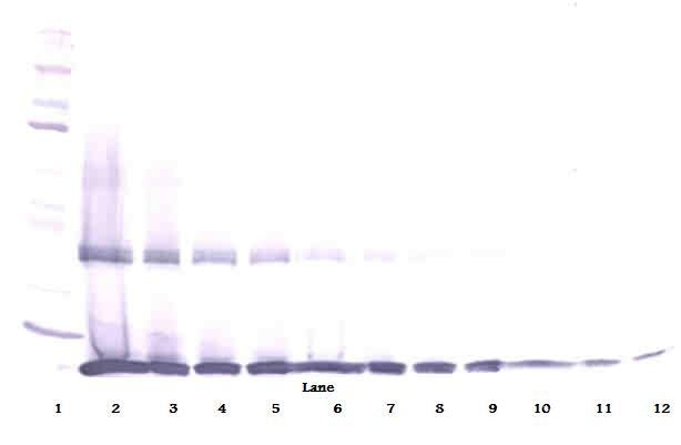 Western Blot (reducing) of IL1B / IL-1 Beta antibody. This image was taken for the unconjugated form of this product. Other forms have not been tested.